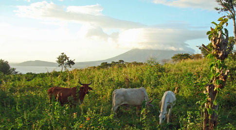 Cows on the side of the volcano