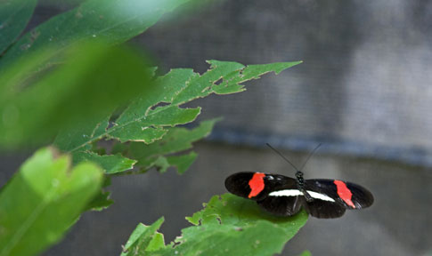 Butterfly in Mombacho Natural Reserve, Nicaragua