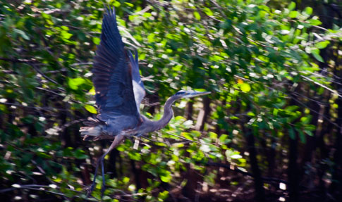 Juan Venado Nature Reserve, Blue Heron in flight