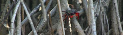 Juan Venado Nature Reserve, crab in tree