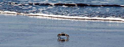 Juan Venado Nature Reserve, crab