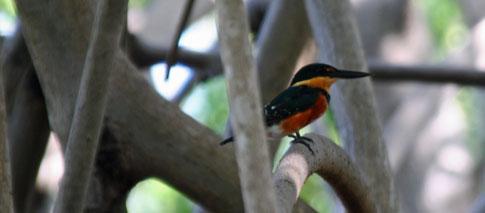 Juan Venado Nature Reserve, Orange bird
