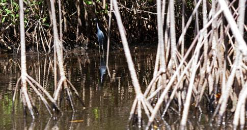 Juan Venado Nature Reserve, Blue Heron