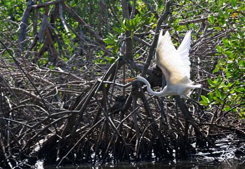 Juan Venado Nature Reserve, white egret