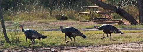 Turkeys in Palo Duro State Park