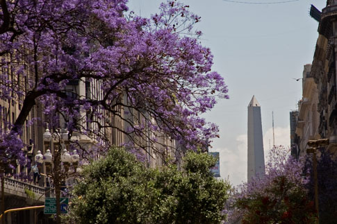 Purple flower trees with Obelisk in Buenos Aires
