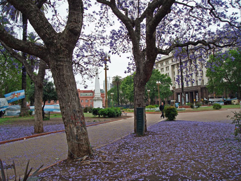 Purple flower trees in Buenos Aires