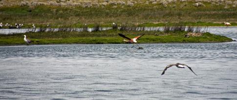 Flamingos in El Calafate