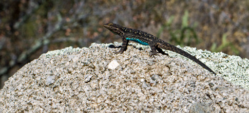 Lizard near Aguire Springs