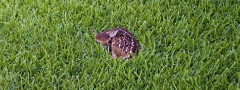 fawn in yard